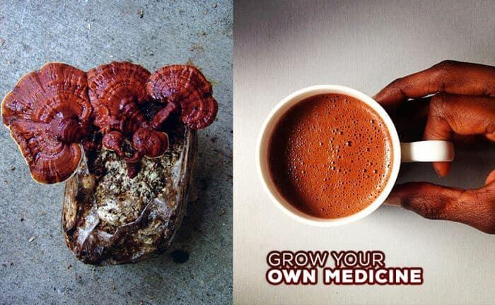 Medicinal mushroom cultivation