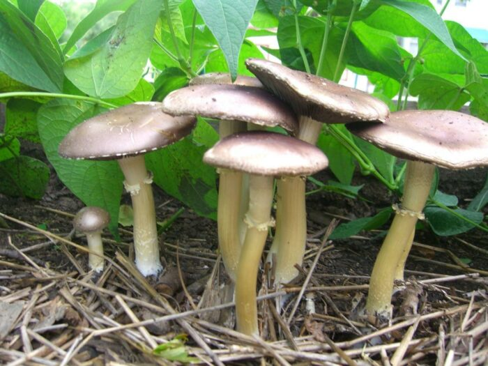 mushrooms to grow at home