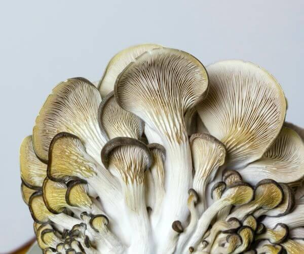 oystermushrooms